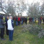 Pratica il corso di potatura dell'olivo